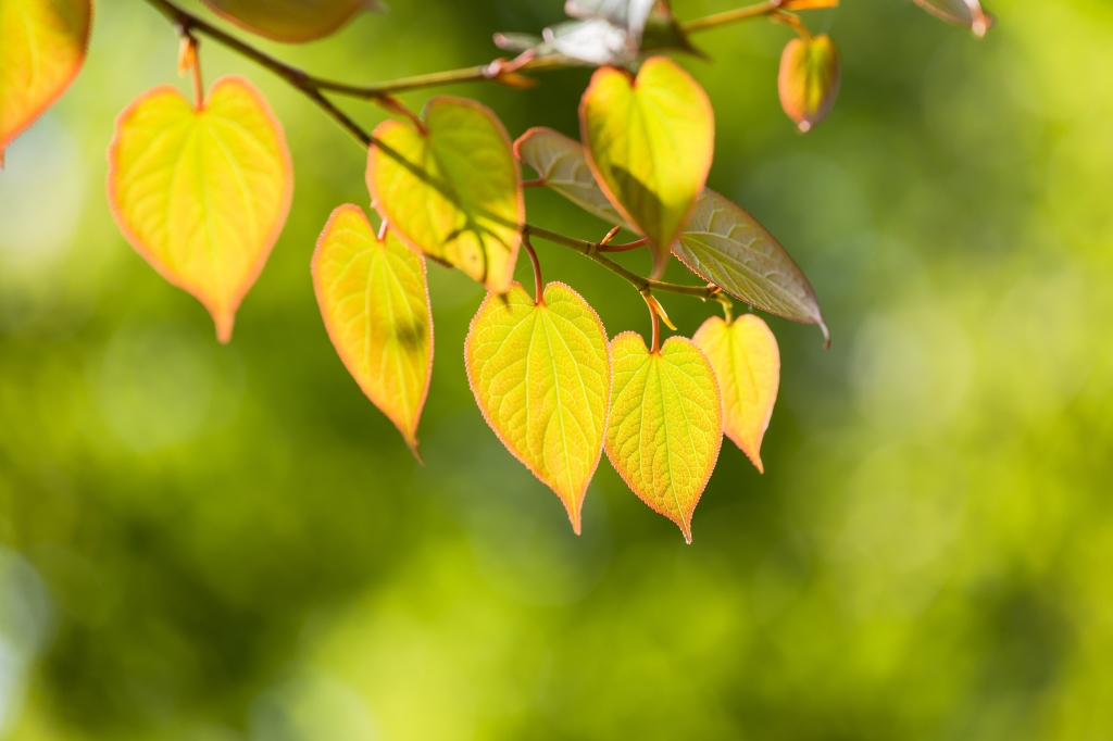 close up of yellowy-green, heartshaped leaves on the katsura tree with blurred greenery in the background, By imacoconut, Shutterstock.com